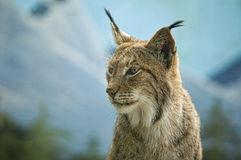 Eurasian lynx head Royalty Free Stock Image