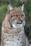 Eurasian Lynx. Head and shoulders portrait Royalty Free Stock Photos