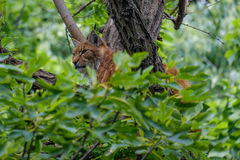 Eurasian lynx hidden on a tree. Eurasian lynx climbing on a tree hidden between the leaves Stock Image