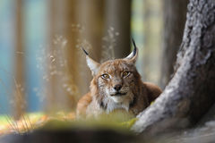 Eurasian lynx. Hidding behind tree trunk in autumn Stock Images
