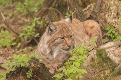 Eurasian lynx. It is image of Eurasian lynx Royalty Free Stock Images