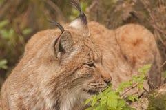Eurasian lynx. It is image of Eurasian lynx Stock Photography