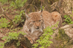 Eurasian lynx. It is image of Eurasian lynx Royalty Free Stock Image