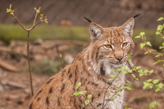 Eurasian lynx. It is image of Eurasian lynx Royalty Free Stock Photography
