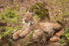 Eurasian lynx. It is image of Eurasian lynx Royalty Free Stock Photos