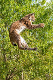 Eurasian Lynx Jumping to Catch Something. Playful Eurasian Lynx Jumping to Catch Something in Paws against Trees Royalty Free Stock Photography