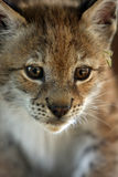 Eurasian Lynx Kitten. Closeup of a five week old Eurasian Lynx Royalty Free Stock Photo