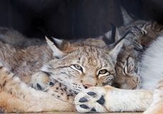 The Eurasian lynx. Eurasian lynx is the largest of all lynx. Legs large well furred in winter, which allows the lynx to walk on the snow without sinking. On Stock Photography