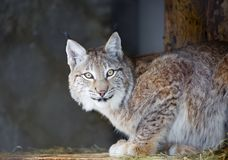 Lynx. royalty free stock photography