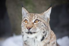 Lynx. stock images