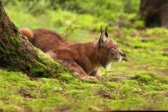 Eurasian Lynx lat. Lynx lynx Stock Images