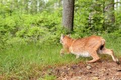 Eurasian Lynx,  lat. Lynx lynx Royalty Free Stock Image