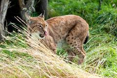 Eurasian Lynx in Long Grass Licking Nose Stock Photos
