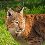 Eurasian Lynx Looking Over Shoulder Royalty Free Stock Photo