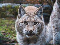 Eurasian Lynx in Germany. Eurasian Lynx Lurking on the grass Stock Images