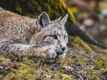 Eurasian Lynx in Germany. Eurasian Lynx Lurking on the grass Royalty Free Stock Images