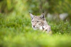 Eurasian lynx lying in the green grass Stock Photos