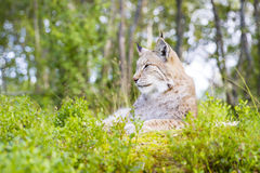 Eurasian lynx lying in the green grass Stock Images