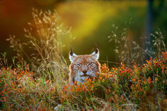Eurasian lynx. Lying on the ground in beautiful colorful autumn sunset Stock Images