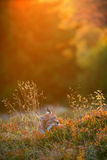 Eurasian lynx. Lying on the ground in beautiful colorful autumn sunset Royalty Free Stock Photos