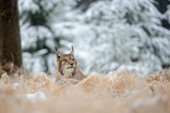 Eurasian lynx lying on ground in winter time Stock Photos