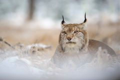 Eurasian lynx lying on ground in winter time Royalty Free Stock Photography