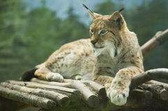 Eurasian lynx lying Stock Images