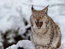 Eurasian Lynx, Lynx lynnx, in the snow, yawning. Eurasian lynx, Lynx lynx, sitting in the snow in Norway, yawning and showing its teeth and tounge Stock Photos