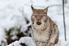 Eurasian Lynx, Lynx lynnx, in the snow, yawning. Eurasian lynx, Lynx lynx, sitting in the snow in Norway, yawning and showing its teeth and tounge Royalty Free Stock Photo