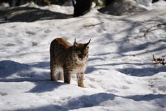 Eurasian Lynx (Lynx lynx). The Eurasian lynx ranges from central and northern Europe across Asia. Since the beginning of the 20th century, the Eurasian lynx was Stock Image