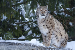 Eurasian lynx (Lynx lynx). The Lynx is an elusive, ghost-like animal that sees without being seen. Often called the keeper of secrets of the forest, its magical Royalty Free Stock Photos