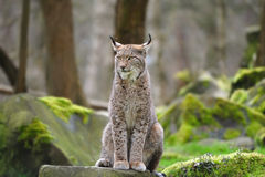 Eurasian lynx (Lynx lynx). The Eurasian lynx ranges from central and northern Europe across Asia. Since the beginning of the 20th century, the Eurasian lynx was Royalty Free Stock Images