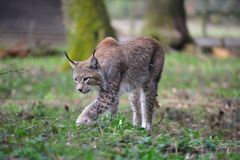 Eurasian lynx (Lynx lynx). The Eurasian lynx ranges from central and northern Europe across Asia. Since the beginning of the 20th century, the Eurasian lynx was Stock Photos