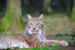 Eurasian lynx (Lynx lynx). The Eurasian lynx ranges from central and northern Europe across Asia. Since the beginning of the 20th century, the Eurasian lynx was Stock Photo