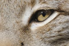 Eurasian lynx ( lynx lynx ) Stock Images