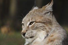 Eurasian lynx ( lynx lynx ) Royalty Free Stock Images