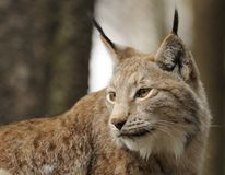 Eurasian lynx ( lynx lynx ) Royalty Free Stock Photography