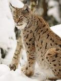 Eurasian lynx ( lynx lynx ) Stock Image