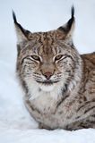 Eurasian lynx - (Lynx lynx). Close-up portrait of a common lynx against a background of a snow Royalty Free Stock Image