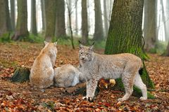 Eurasian lynx (Lynx lynx). The Eurasian lynx ranges from central and northern Europe across Asia. Since the beginning of the 20th century, the Eurasian lynx was royalty free stock photo