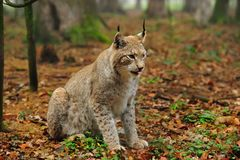 Eurasian lynx (Lynx lynx). The Eurasian lynx ranges from central and northern Europe across Asia. Since the beginning of the 20th century, the Eurasian lynx was Royalty Free Stock Photography