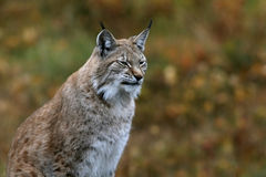 Eurasian Lynx (Lynx lynx). Peacefully resting in fall landscape royalty free stock image