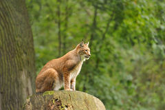 Eurasian Lynx (lynx lynx). In Wisentgehege Springe,Germany Royalty Free Stock Photography