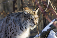 Eurasian lynx (Lynx lynx). In the snow stock image