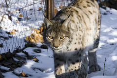 Eurasian lynx (Lynx lynx). Walking in the snow royalty free stock image