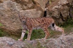 Eurasian lynx (Lynx lynx) Royalty Free Stock Image