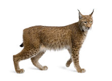 Eurasian Lynx, lynx lynx, 5 years old. Standing in front of white background, studio shot Stock Image