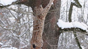 A Eurasian lynx (Lynx lynx) climbs on a big snowy tree. Royalty Free Stock Image