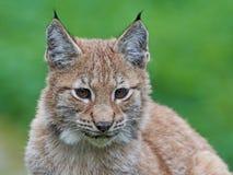 Eurasian lynx Lynx lynx. Closeup portrait of a juvenile Eurasian lynx with vegetaion in the background Stock Photo