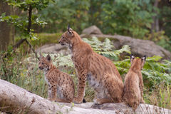 Eurasian lynx (Lynx lynx) with cubs Royalty Free Stock Image